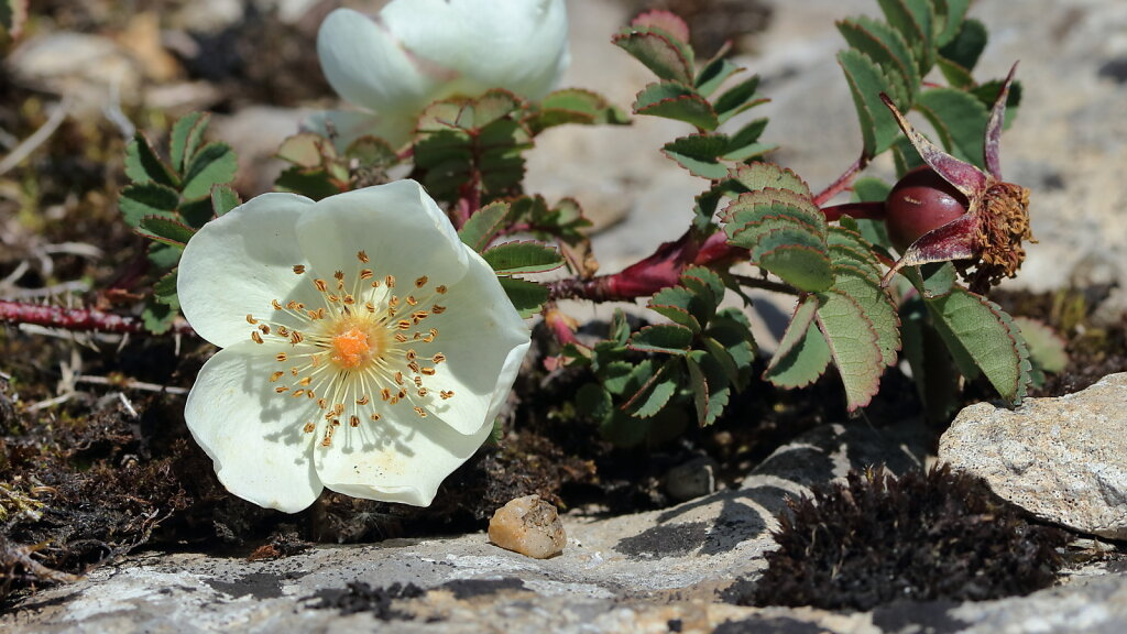 Rosa spinosissima (Burnet Rose)