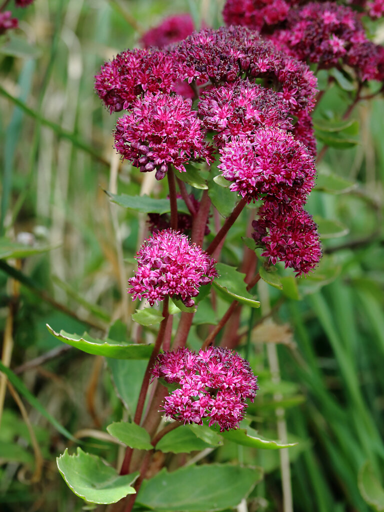 Hylotelephium spectabile (Butterfly Stonecrop)