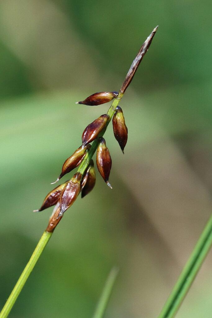 Carex pulicaris (Flea Sedge)