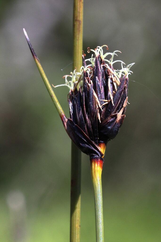 Schoenus nigricans (Black Bog-rush)
